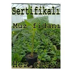 copy of Sertifikalı Muz Fidanı